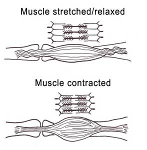muscle3b2